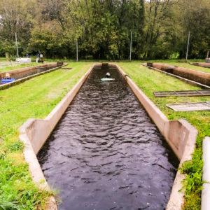 Truite arc en ciel _ pisciculture Bourdoux - Bretagne Truite (3)-2